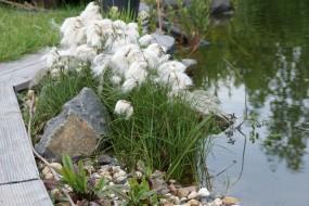 Wollgras - Eriophorum Latifolium