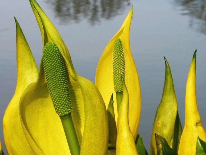 Gelbe scheincalla lysichiton americanus sumpfpflanzen teichpflanzen oase - Neyses gartenteiche ...
