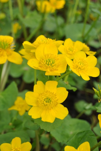 Gelbe sumpfdotter caltha palustris sumpfpflanzen teichpflanzen oase - Neyses gartenteiche ...