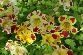 Gauklerblume Gefleckt - Mimulus Luteus Grandiflora
