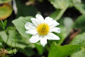 Weiße Sumpfdotterblume - Caltha Palustris Alba