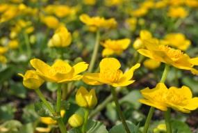 Teichpflanzensortiment - 25 Pflanzen 5 Sorten