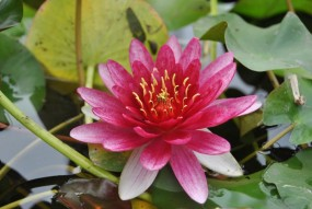 Seerose rot / Nymphaea Crimson