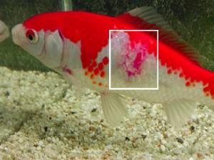 Oase AquaMed AntiBakterien - Bakterienbefall